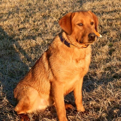 Male Labradors Sire Labrador Retrievers Red Hot Labradors
